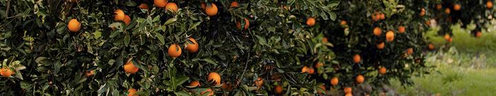 Citrus grove with oranges.